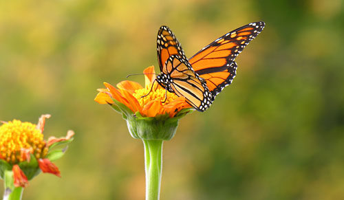 8588-monarch-butterfly-on-tithonia.jpg